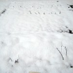 Snowfall on the Allotment