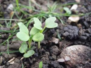 Brussel Sprout Seedlings