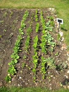 herbs & parsnips