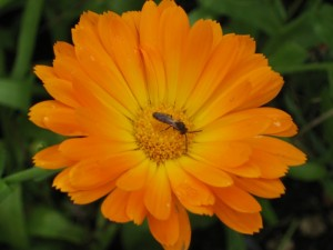 Pot Marigold and Insect