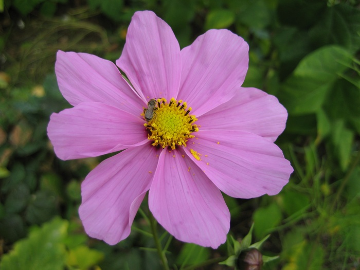 Cosmos Cosmea & Insect
